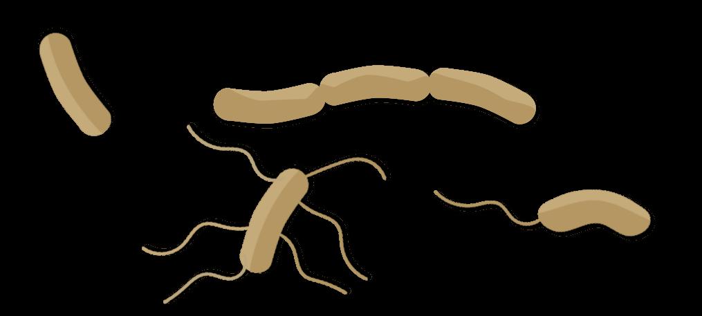 Bactéries du sol