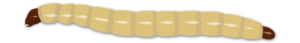 Larves de coléoptères du sol Objet3