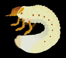 Larves de coléoptères du sol Objet5