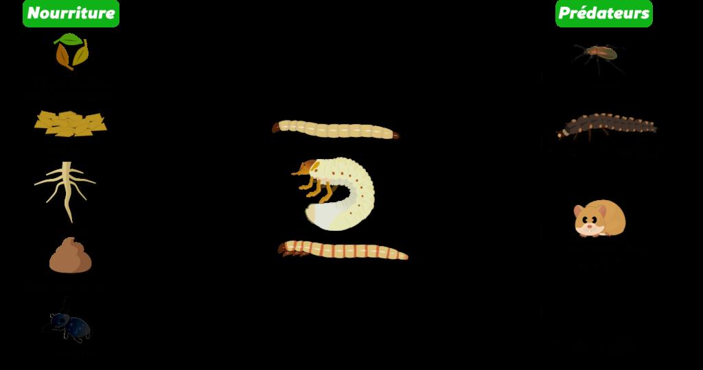 Larves de coléoptères du sol Objet8