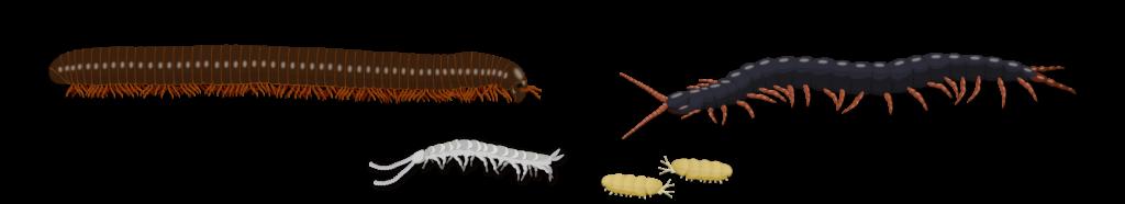 Myriapodes du sol Objet5