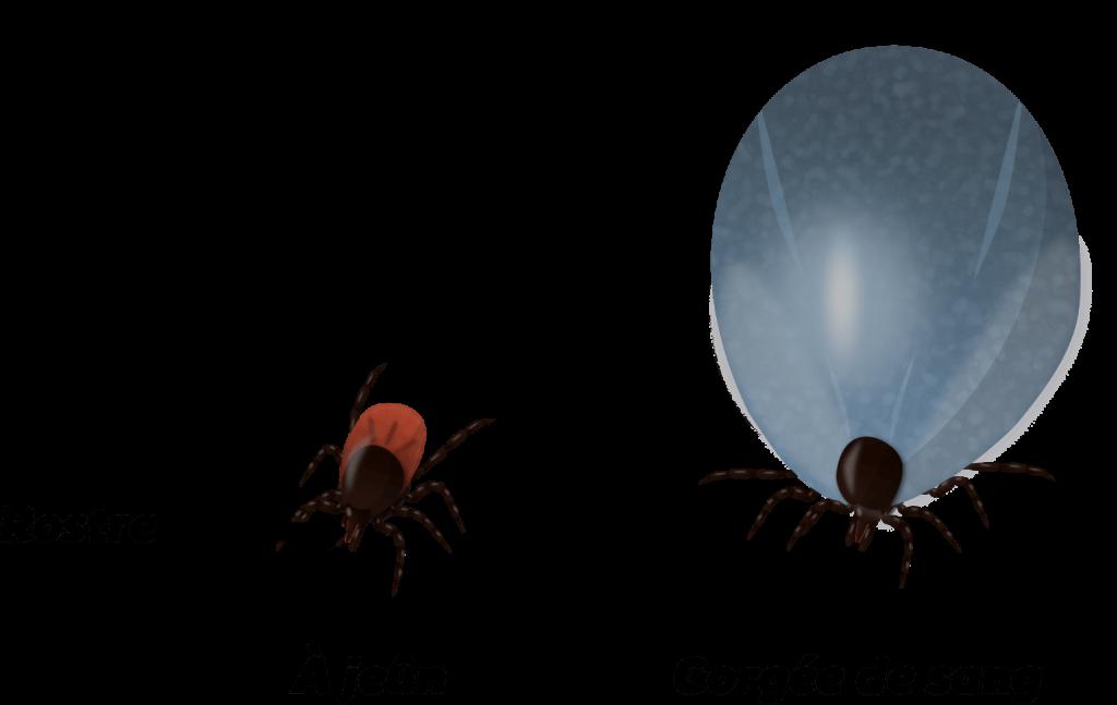 Acariens du solObjet6