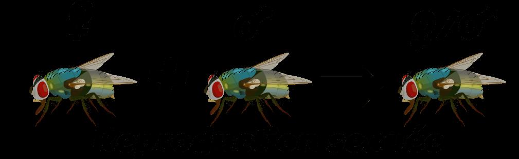 Larves de diptères du sol Objet6