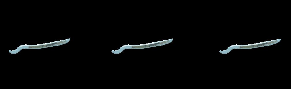 Enchytréides Objet3